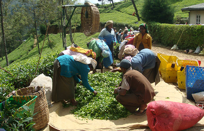 Haputale and Bandarawela in a scenic tea estate