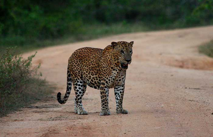 Yala National Park Morning Safari Game drive