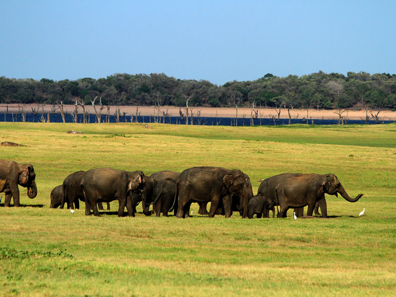Afternoon safari at Minneriya National Park