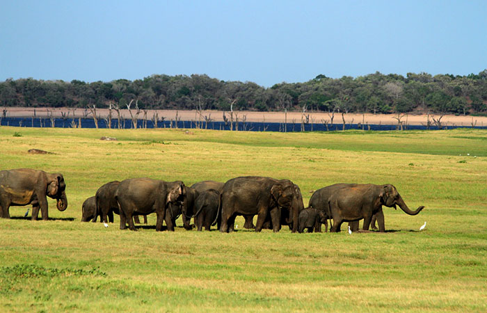 Safari in Minneriya National Park