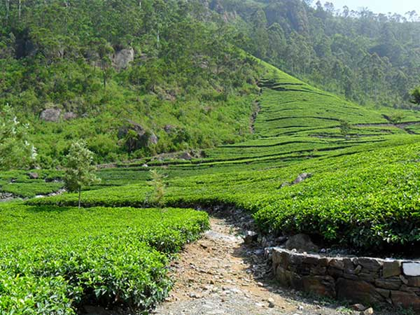 Tea Estate Trekking in Sri Lanka | Trek to Liptons Seat | Dambatenna Tea Estate Trekking | Liptons Seat Trekking