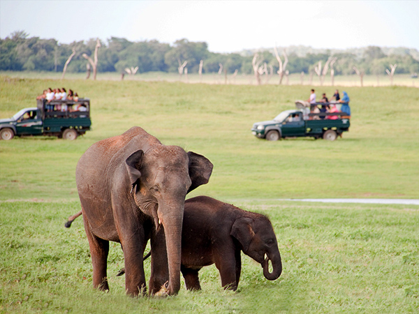 Minneriya Safari Game Drives | Safari Jeeps Tours in Minneriya | Jeep Safaris in Minneriya