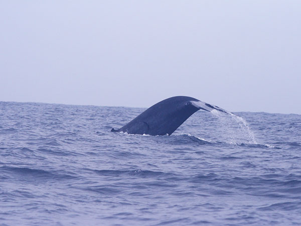 Mirissa Whale Watching Tours in Sri Lanka | Whale Watching in Mirissa | Whale watching Boat Tours in Mirissa | Mirissa Whale Watching