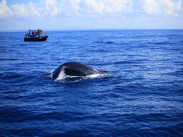 Whale and Dolphin Watching in Mirissa | Dolphin Watching in Mirissa | Whale and Dolphin Watching in Sri Lanka | Whale Watching in Mirissa