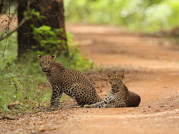 Wilpattu Safari Game Drives | Wilpattu Jeep Safaris | Wilpattu Safari Tours