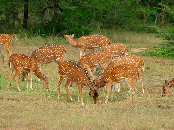 Yala Leopard Safari Game Drive | Leopard Safaris in Yala | Yala Safari Leopard Camp